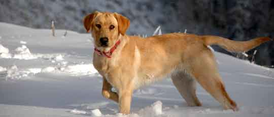 Allie in the snow - Yellow Lab