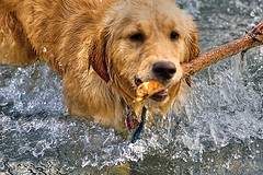 Golden Retriever Introduction to water