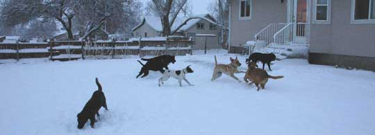 Dog Pack Romps in the snow