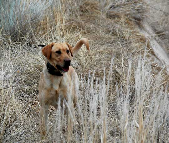 Yellow Lab puppies (upland special)- Litter Announcment ...  Yellow Lab pupp...